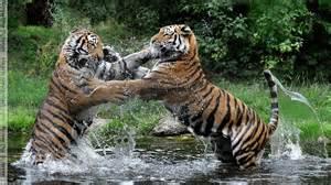 warring tigers