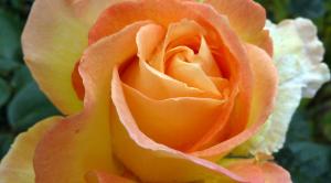 2012_0622 rose for rosie  wordpress