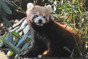 Red Panda at Bronx Zoo