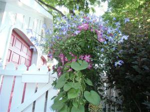 Blog Photo - Blue clems atop Pinks