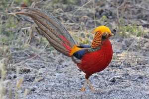Golden Pheasant (Not one from trip)